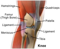 Anatomy of the knee joint